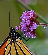 Insects Photo Originals - Monarch Purple by Peter Gray
