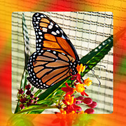 Attractive Mixed Media Framed Prints - Monarch Rainbow Framed Print by Andee Photography