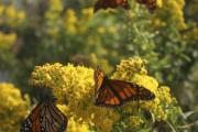New Jersey Photo Originals - Monarch Refueling by Kevin  Sherf