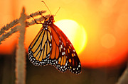 Wildlife Sunset Posters - Monarch Sunset Poster by Emily Stauring