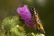 Monarch Thistle Munching Print by Darleen Stry