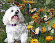 Maltese Dog Photos - Monarchs Kiss the Sun by Starlite Studio