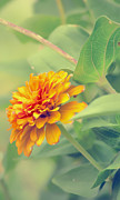 Zinnia Prints - Monday Morning Glow Print by Bill Tiepelman