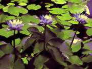 Trio Prints - Monets Lillies Print by Karen Lewis