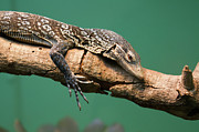 Monitor Framed Prints - Monitor Lizard Framed Print by Photography by Zack Podratz