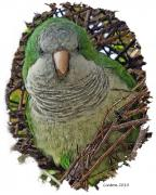 Parakeet Art - Monk Parakeet by Larry Linton