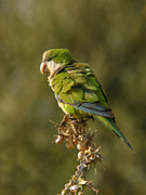 Monk Parakeet Metal Prints - Monk parakeet Metal Print by Perry Van Munster