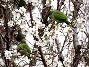 Monk Parakeet Metal Prints - Monk Parakeets Metal Print by Keith Stokes