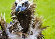Monk Vulture 5 Print by Heiko Koehrer-Wagner