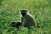 Monkeys Prints - Monkey And Young Print by Beverly Joubert