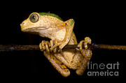 Cold Blooded Framed Prints - Monkey Frog Framed Print by Dante Fenolio