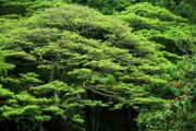 Charmian Vistaunet - Monkey Pod Tree Greenery