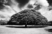 Monkey Pod Tree In Black And White Print by Charmian Vistaunet