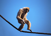 Humor Prints - Monkey Walking On Rope Print by John Foxx