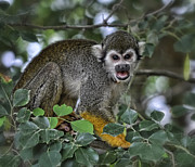 Squirrel Monkey Prints - Monkeying Around Print by Saija  Lehtonen