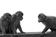 Three Animals Framed Prints - Monkeys Getting Ready For Fight At Chinese Temple Framed Print by Flemming Søgaard Jensen