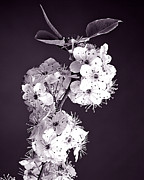 Trumpet Art - Monochrome Blossoms by M K  Miller