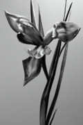 Still Life Photo Originals - Monochrome Iris by Terence Davis