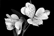 Peruvian Lily Photos - Monochrome Lily by Terence Davis