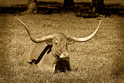 Black And White Prints Prints - Monochrome Longhorn Cow Rsting in Grass Print by M K  Miller