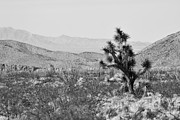 Tree Art Print Framed Prints - Monochrome Mojave Framed Print by Ricky Barnard