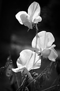 Stephen Clarridge Metal Prints - Monochrome Sweet peas Metal Print by Stephen Clarridge