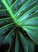 Greens Framed Prints Prints - Monstera Print by Kathy Yates