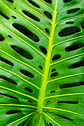 Bright Metal Prints - Monstera leaf Metal Print by Carlos Caetano