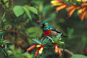 Sunbird Framed Prints - Montane Double-collared Sunbird Framed Print by Cyril Ruoso