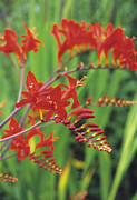 Crocosmia Framed Prints - Montbretia Flowers Framed Print by Duncan Smith