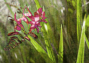 Crocosmia Prints - Montbretia Garden Print by Barbara  White
