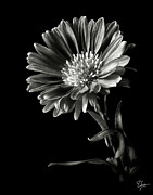Flower Photos Posters - Montecasino in Black and White Poster by Endre Balogh