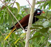 Orange And Brown Wings Originals - Montezuma Oropendola of Costa Rica by William Patterson