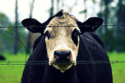 Cow Humorous Photos - Moo Cow I by Robin Dickinson