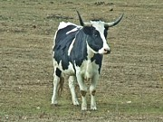 Long Horn Cow Photos - Moo by Dave Dresser