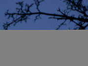 Focus On Background Prints - Moon And Branches Print by Christoph Hetzmannseder