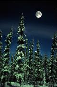 Evergreen Trees Posters - Moon And Trees, Teslin, Yukon Poster by Robert Postma