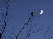 Crescent Moon Digital Art - Moon Crow by Gothicolors And Crows