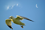 Seagull Metal Prints - Moon Cruise Metal Print by Emily Stauring