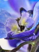 Blue Delphinium Photos - Moon Rise by Lauren Radke