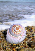 Snail Framed Prints - Moon Snail Framed Print by Charles Harden