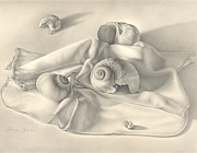 Snail Drawings Framed Prints - Moon Snail Still Life Framed Print by Donna Basile