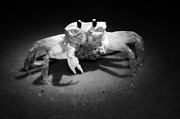 Pinchers Prints - Moonlight Crab Print by Jason  Pierdominici