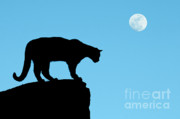 Silhouettes Posters - Moonrise and Cougar Poster by Sandra Bronstein