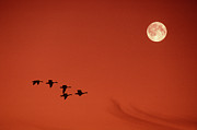 Canada Geese Prints - Moonset Print by Tony Beck