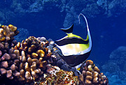 Colorful Tropical Fish  Photos - Moorish Idol on Reef by Bette Phelan