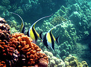 Tropical Fish Posters - Moorish Idols over Coral Poster by Bette Phelan
