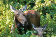 Moose - White Mountains New Hampshire  Print by Erin Paul Donovan