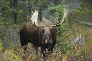Alces Alces Posters - Moose Alces Alces In The Forest Alberta Poster by Philippe Widling