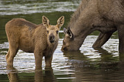 Feeding Photos - Moose Alces Americanus Mother And Calf by Michael Quinton